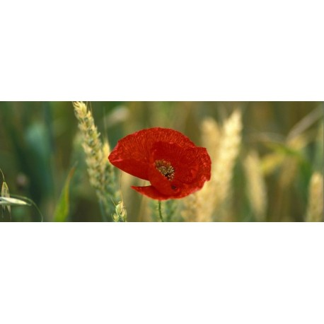 coquelicots_ble_pano