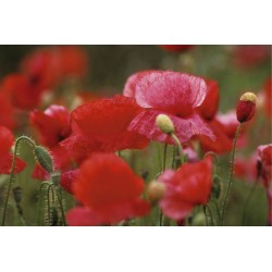 coquelicots_boutons
