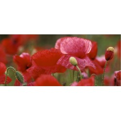 coquelicots_boutons_pano