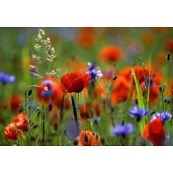 fleurs champs  H