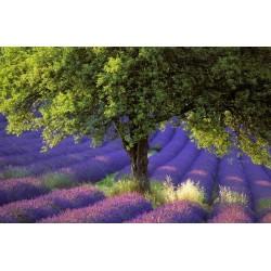 lavande_arbre
