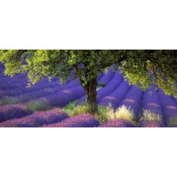 lavande_arbre_pano
