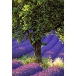 lavande_arbre_vertical