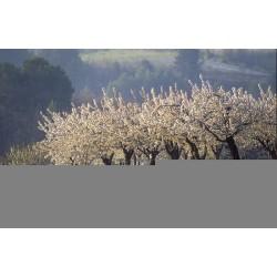 lavande_cerisiers