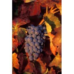 grappe_raisins