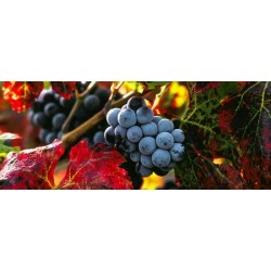 grappe_raisins_pano