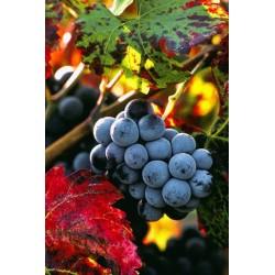 grappe_raisins_vertical