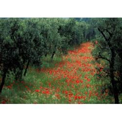 oliveraie_coquelicots