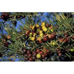 olives_grappe