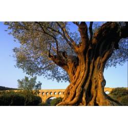 olivier_pont_du_gard