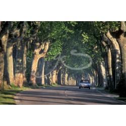 Route de platanes à St-Rémy de Provence
