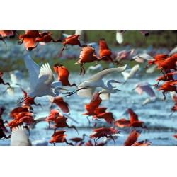 Vénézuela ibis rouges et hérons1840