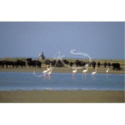 taureau et flamants roses