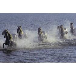 Chevaux dans l eau