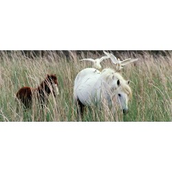 chevaux_Pique_Boeufs_pano
